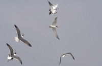 Gulls and terns all fighting for the catch! - Goélands et sternes se battent pour la prise!