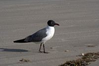 Laughing Gull - Mouette atricille