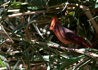Cardinal aussi rouge que ceux dans notre jardin -- Cardinal as red as the ones back home